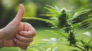 What Are the Best Options For Buying Weed's Online?
